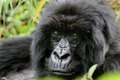 Rwanda 113 (xtph) Tags: pictures africa nature dark real photography amazing flickr gorilla wildlife awesome picture rwanda jungle ape christoph silverback mountaingorilla centralafrica virunga beringei gorillaberingei gorillaberingeiberingei virungavolcanoes christophvandewiele vandewiele virungavolcanicmountains robertvonberinge xtph