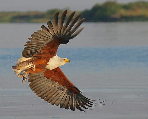 fish eagle--Botswana