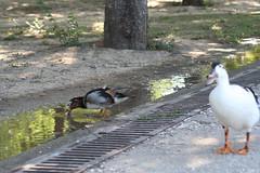 Pato mandarn remojando trozos de pan II (ILTI) Tags: sevilla aves macho animalia aixgalericulata anatidae patomandarn parquedelalamillodesevilla