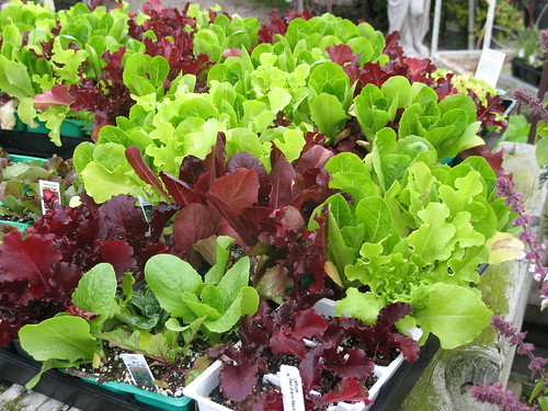 6-pack of lettuce varieties