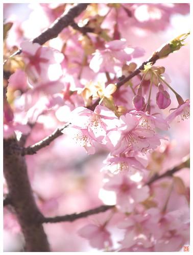 Cherry blossoms 090305 #03