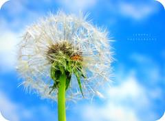 Monday Blues ~ ! (Anuma S. Bhattarai) Tags: uk blue nepal red sky orange white flower macro green yellow photography scotland asia edinburgh flickr skies shot unitedkingdom cybershot dandelion april cyber nepali sharma naturesfinest dandelionflower anuma bhattarai cybershotdsch50 anumasphotography anumasharmabhattarai