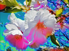 Cherry Blossoms 2 (Tim Noonan) Tags: colour art texture digital photoshop cherry spring blossoms manipulation shining hypothetical tistheseason vividimagination artdigital shockofthenew sotn newreality sharingart maxfudge awardtree theperfectpinkdiamond maxfudgeexcellence maxfudgeawardandexcellencegroup exoticimage netartii