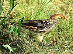 Anum branco? (Wladimir Calado) Tags: pássaros amazônia specanimal avianexcellence naturewatcher avesdaamazônia llovemypic amazonfauna wladimircalado
