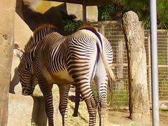 5 legs on a Zebra (jimlittle2) Tags: animals sex penis zoo sandiego stripes cock zebra critters erection poon schlong bigpenis