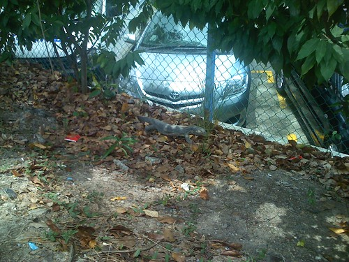 Monitor Lizard at Kallang