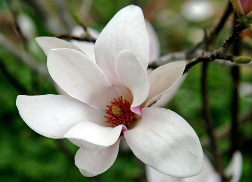 Magnolia Blossom - immagine tratta dal web (Flickr by Big Grey Mare)