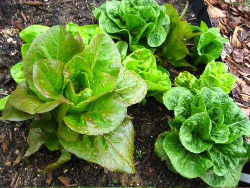 lettuce eat!
