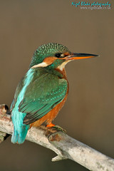 Kingfisher Alcedo atthis (Nigel Blake, 12 MILLION...Yay! Many thanks!) Tags: water female over kingfisher perch perched blake common nigel alcedo atthis