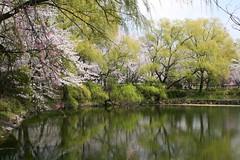 pond, would make an excellent jigsaw. (Steve-kun) Tags: japan spring jp flickrcom stephendraper stevedraperpictures draperphotography stephendraperphotography  flickrjp flickrflickr jpcom