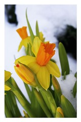 it's the spring time (pupepp's) Tags: flower norway trondheim gandi pupung