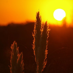 pampas grass against a blurred sunset (Axemaniac-Art) Tags: sunset grass big hero winner grasses thumbsup momma pampas bendigo twothumbsup bigmomma faithfull gamewinner platinumheartaward yourockwinner ultraherowinner pregamewinner