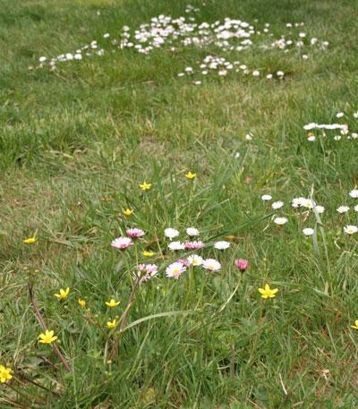 lawnflowers
