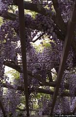 a wistaria trellis.