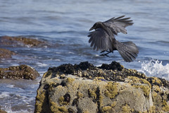 Touch Down, Carrion Crow. - by _John Brown