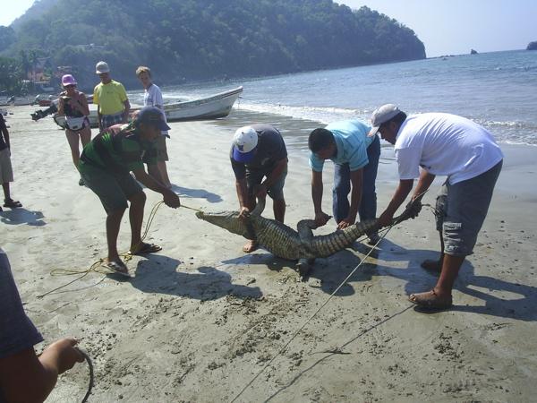 Croc capture