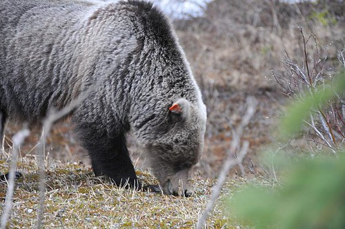 Grizzly on edge of Icefields Parkway