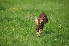 free downloading pics of leopard cat wiki