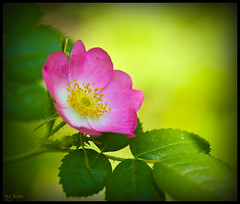 Wild Rose2 (dave dube') Tags: pink art rose oregon eugene artsy pinkflower wildrose wildflower flowerart