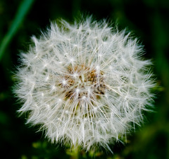 make a wish! (jonoakley) Tags: uk england white flower macro green clock dark weed north bank dandelion seeds east teesside sutton