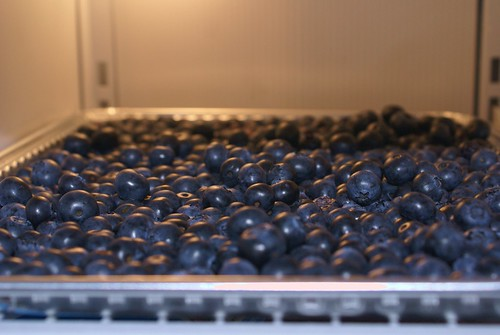 freezing a tray full of fresh blueberries