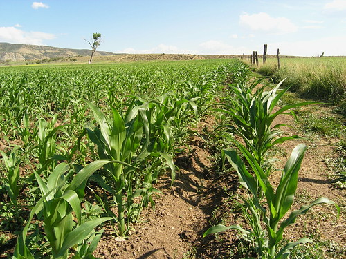 corn in the West