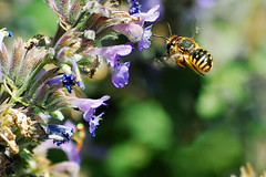 Bee by Delphiniums