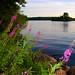 rosebay willowherb by water
