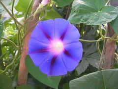 E lucean le stelle... (alfiererosso) Tags: blue flower macro reflection nature azul blu flor natura blau blume fiore reflexo riflesso
