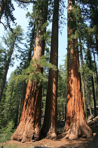 More Sequoias
