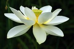 White Lotus blossom (wplynn) Tags: flower water gardens garden botanical zoo lily lotus blossom indianapolis bloom aquaticplant