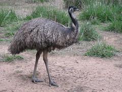 Emu (cskk) Tags: bird zoo australian australia nsw emu taronga dubbo westernplainszoo dromaius novahollandiae dromaiusnovahollandiae