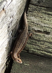 She is probably pregnant (Lalallallala) Tags: wild animal suomi finland reptile pregnant lizard wildanimal lizzard viviparouslizard commonlizard sisilisko nilsiä haluna zootocavivipara