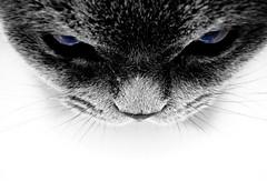 Fear (mastrobiggo) Tags: cat grey eyes grigio evil gatto chartreux greycat excellence certosino paura plus4 gattocertosino plus4excellence certosini certosin