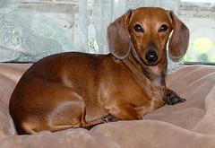 The Lovely Miss Maggie- our new Rescue  photo by Doberdad (chippewabear) Tags: rescue dog dogs puppy miniature pups dachshund doggy doggie