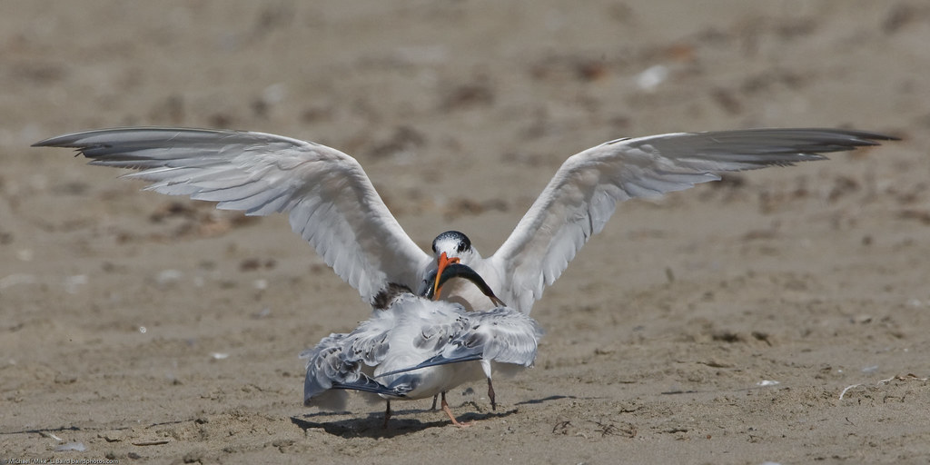 Elegant Tern (Thalasseus elegans)  with fish feeding youngster on Morro Strand