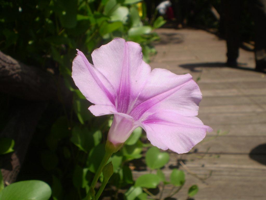 SHADE LOVING FLOWERING VINES