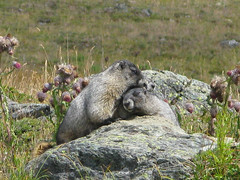 The Happy Couple...err ...Family (21mickrange) Tags: hiking britishcolumbia climbing alpine marmots scrambling singingpass russetlake garibaldiprovincialpark whistlers fissilepeak specnature fitzsimmonsrange freenature theperfectphotographer vosplusbellesphotos snafflehounds