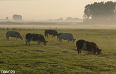 Dam tot Dam wandeltocht  20-09-2008Cows in morningdew) (wandelgraaf(mostly off)) Tags: holland amsterdam walking cows wandelen durgerdam morningdew waterland koeien wandeltocht damtotdam ochtendnevel platinumphoto aplusphoto goldstaraward