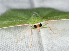 Synchlora aerata 20080714_2036 (GORGEous nature) Tags: yard washington moth july lepidoptera stevenson skamaniaco geometridae synchlora synchloraaerata geometrinae synchlorini mona7058 ©johndavis