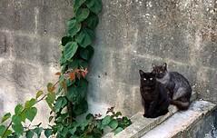 (_Blaster_) Tags: roof italy plants cats plant muro verde green home wall cat italia tetto fuji f30 finepix creeper piante gatto salento puglia gatti blaster sava rampicante fujif30