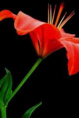 Knockout (elisabeth adams) Tags: light red stilllife orange flower green nature floral fleur petals stem lily petal com 1001nights upclose 3f soe breathtaking fineartphotography naturephotography onblack cubism aclass floralart floralprints artisticexpression floralcloseups imagesforsale sooc bej floralimages fantasticflower masterphotos floralphotography natureplus tabletopphotography mywinners floridaphotographer shieldofexcellence flowerprints floridaphotography flowerphotographs diamondclassphotographer flickrdiamond citrit lilyonblack flickrsfantasticflowers awesomepictureaward flowerimages excellentsflowers goldenglobe1 4mazingorgeoushotsoflowers floralphotographer imagesonblack qualitypixels missouriphotographer masterpiecesonblack floralphotographs cffaa gardengnomegroup missouriimages pixel8gallery wwwpixel8gallery fineartphotographyforsale finefloralphotography floralonblack imagesfrommissouri