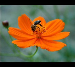 Buzzzzzzzzzzzz............. { Explored } (canmom ( Carrie )) Tags: orange flower macro canon 350d rebel xt bee busy bloom canoneos350d cosmos bipinnatus canonefs1855mmf3556 canmom explorewinnersoftheworld