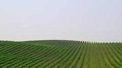 sweet slopes (gicol) Tags: california verde america us wine hill vine napa vigne vino collina