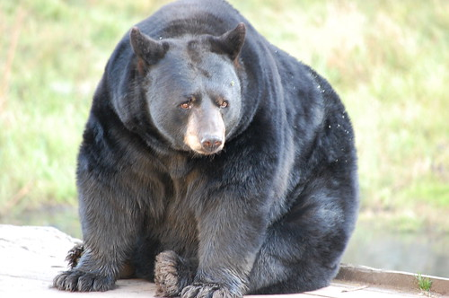 Big ol' black bear