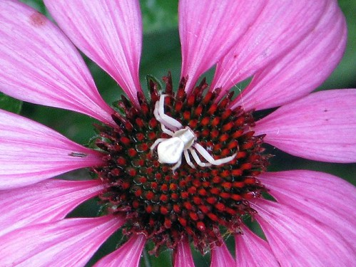 Echinacea and spider close up