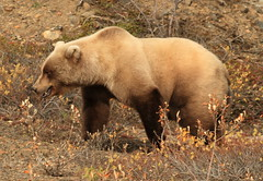 Up close and personal with a grizzly bear in D...