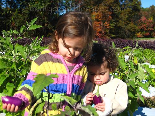 Picking eggplant