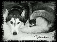 Luna y gatita (aunqtunolosepas) Tags: family dog pet cats pets white black cute love dogs animal animals familia cat mom kitten feline husky bea adorable kitty huskies gatos mama cutie perro gato cachorro k