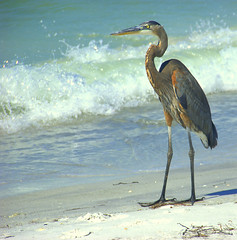 Great Blue Heron (Ray .) Tags: heron raw florida egret greatblueheron sandkeybeach explorewinnersoftheworld thewonderfulworldofbirds exploreoctober212008188
